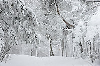 Misty scene of Snow covered trees and trails in Mont Royal Park in Winter, Parc du Mont Royal, Montreal, Quebec, Canada