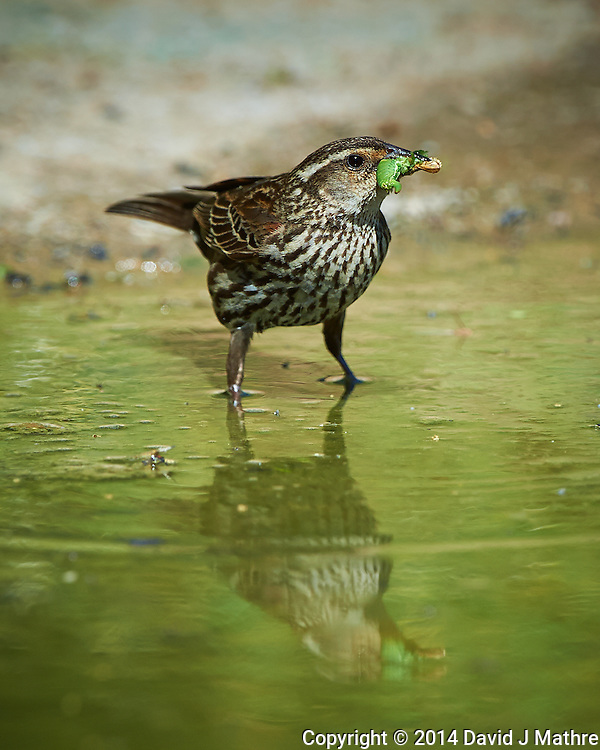 Female Red-Winged Blackbird with Breakfast and Reflection at Dos Vandas Ranch in Southern Texas. Image taken with a Nikon D4 camera and 500 mm f/4 VR lens (ISO 450, 500 mm, f/5.6, 1/2000 sec).