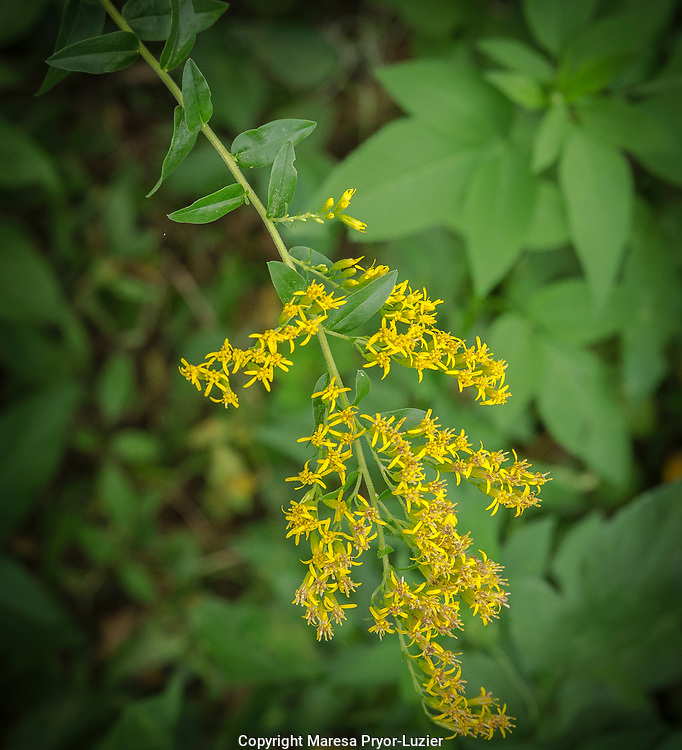 Chapman's goldenrod , Solidago odora var. chapmanii, endemic to Florida.