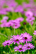 Selective focus on a field of Pink Daisies