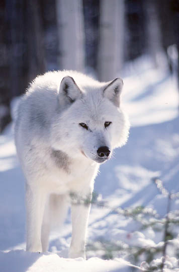 Gray Wolf (Timber Wolf) large, aging adult male. Captive Animal.