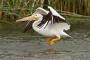 American White Pelican, Lake Skinner, California, North America