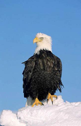 Bald Eagle, (Haliaeetus leucocephalus) Portrait. Alaska.