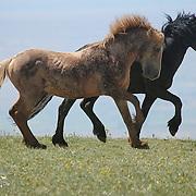 Cloud the Stallion