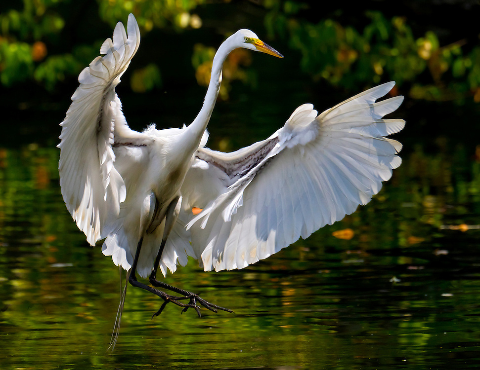 A dragon like egret landing at the Prospect Park Lake on a late May afternoon.