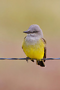 Stock Image of Western Kingbird captured at Chatfield State Park in Colorado.  These kingbirds often chase insects up to 40 feet before capturing them.