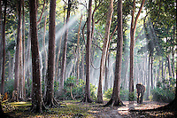 The lone survivor of a group of 10 elephants that were trained to log the Andaman Islands in the 1960's. Rajan, now retired,  enjoys his early morning walk in the jungle.