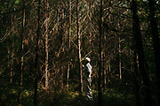 "MERIDIAN, MS – AUGUST 3, 2018: Clayton George, 57, walks under a canopy of mature Loblolly pine that is ready for final harvest. As a resident of Tennessee, George makes the four hour drive south every two weeks to check on his family's 400 acre tract and visit his father who still lives there.<br /> <br /> In 1987, George and a friend walked in rows planting the family's first batch of Loblolly pine, where soybeans, wheat and cattle once covered the family's 400 acres.  The shift to timber was largely prompted by the Conservation Reserve Program, a popular new farm subsidy in the 1980s that encouraged farmers to reforest depleted land by paying them for every acre of trees planted. Since 1926, the George family had made a good living from their eastern Mississippi farm, but the decline of soybeans and other crops eventually led George to consider growing trees instead – a crop that landowners throughout the south believed would bring in easy money. Thirty years later, however, the same landowners are now facing unexpected financial hardship. Stumpage prices have been on a steady decline – as much as 45% since 2007 – and landowners are rethinking timber as a worthwhile investment. """"We figured we''d plant trees and come back and harvest it in 30 years, and in the meantime go into town to make a living doing something else,"" George said. As co-owner of the family acreage with three other family members, George always considered himself the most nostalgic Now, as he patiently awaits for right time to harvest a 30 year investment, even he considers the future of the land uncertain. CREDIT: Bob Miller for The Wall Street Journal<br /> TIMBER_AL"