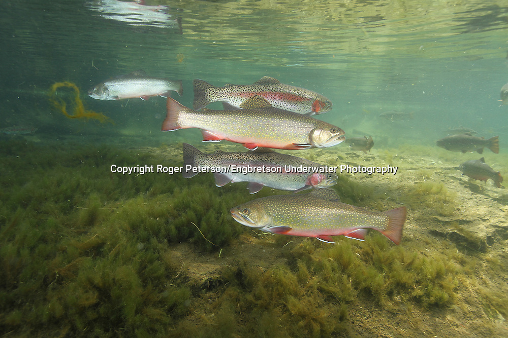 Brook Trout & Rainbow Trout together<br />