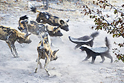 African Wild Dog<br /> Lycaon pictus<br /> Facing off two honey badgers<br /> Northern Botswana, Africa<br /> *Endangered species