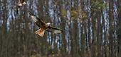 Fauna - Birds : Raptors & Corbies