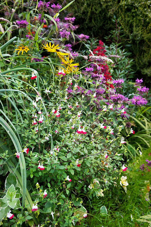 Late summer border with Salvia × jamensis 'Hot Lips', Rudbeckia and Monarda