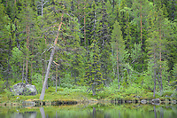 Taiga boreal forest in Kvikkjokk in the Laponia UNESCO World Heritage Site, Greater Laponia rewilding area, Lapland, Norrbotten, Sweden