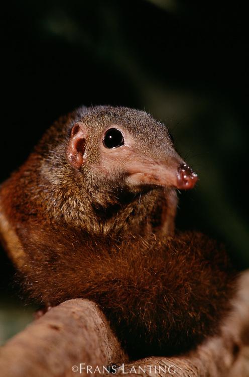Greater tree-shrew on branch, Tupaia tana, Sabah, Borneo