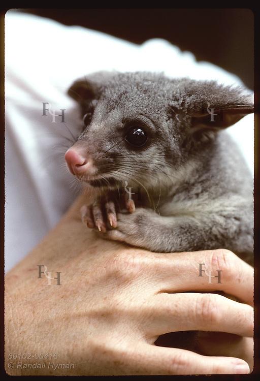 Seven-month-old brush-tail possum rests in caretaker's hands at Eprapah rehab center; Brisbane. Australia