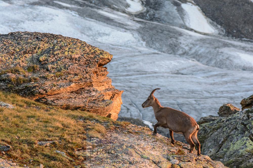 Impressionen von der Überschreitung des Dirruhorns (4035) von der Bordier-Hütte auf dem Riedgletscher über ein Couloir bis auf das Dirrujoch und via Gipfel auf dem Nordgrat bis zur Selle und über dieses Couloir retour. Alpensteinböcke (Capra ibex) bei der Bordierhütte