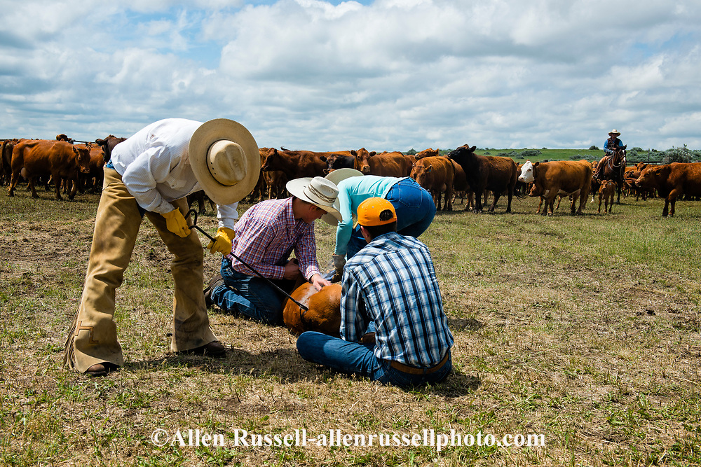 Rancher, John L. Moore, brands, at his cattle branding, Wally Badgett ropes, Angie Dauben ear tags, Luke Dighans, Logan Peila, wrestle calves, Lazy TL Ranch, north of Miles City, Montana