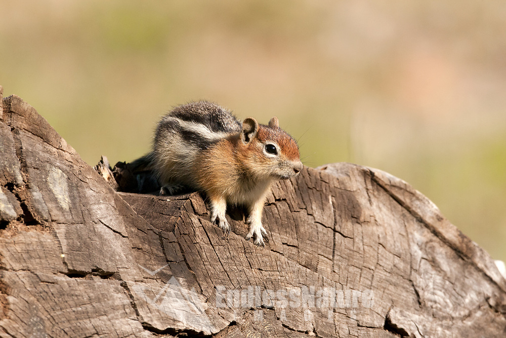 A Uinta Chipmunk stands on a cut log in the mountains of northern Utah.