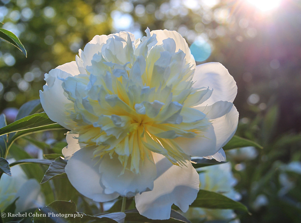 &quot;Peony Magic&quot;<br /> <br /> A lovely white Peony in the sunlight, creating beautiful bokeh!!<br /> <br /> Flowers by Rachel Cohen