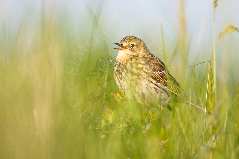 Meadow Pipit (Anthus pratensis) adult, calling in long grass, South Norfolk, UK. May.
