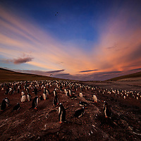 Sunrise over a gentoo colony, the Neck, Falkland Islands, 2017