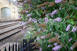 Buddleia at Stroud Railway Station. Buddleja davidii
