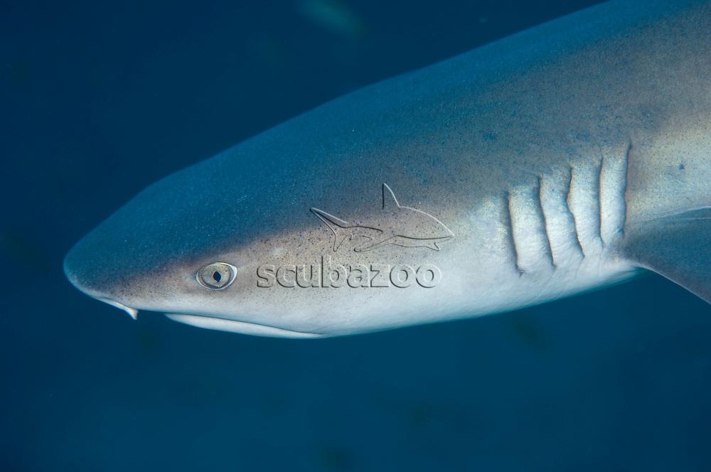Whitetip Reef Shark, Triaenodon obesus, Profile of head, South Male Atoll, Maldives