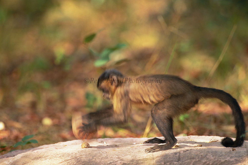 Brown Capuchin Monkey Tool Using<br />Cebus apella<br />Piaui State,  BRAZIL.  South America<br />'Cracking Palm Nut with Rock<br />'