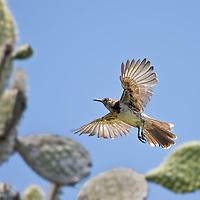 Floreana Mockingbird