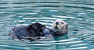 Sea Otter (Enhydra lutris) eating in Seward Boat Harbor on the Kenai Peninsula in Southcentral Alaska. Spring. Evening.