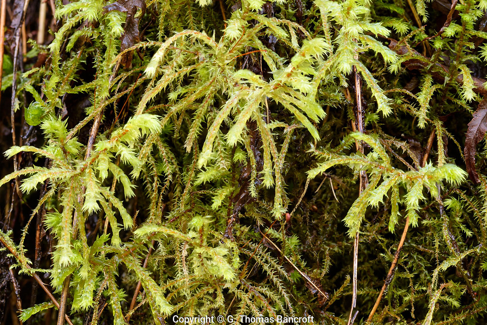 Rhytidiadelphus triquestrus -- Electrified Cat's-tail Moss
