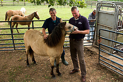 The Grayson Jockey Club Foundation plays a key role in the health of the Thoroughbred industry by funding important research. <br /> <br /> UK research Ph.Ds, Dr. Martin Nielsen, left, and Dr. David Horohov are conducting research on a group of ponies by analyzing their vitals after de-worming and vaccinating the equids. They want to see if giving both regimens have negative effects on each other., Tuesday, Aug. 06, 2013 at the C. Oran Little Research Center in Versailles.