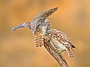 The Little Owl (Athene noctua) on a branch. This small owl reaches up to 25 centimetres in lengt Photographed in Israel in June