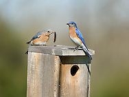 Eastern Bluebirds (Sialia sialis) with food at nest box