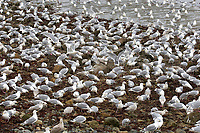 Mixed gulls feeding on herring roe washed up on beach, Qualicum Beach, British Columbia, Canada   Photo: Peter Llewellyn