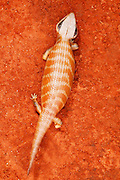 Centralian Blue Tongue Skink (Tiliqua multifasciata) occurs in the northern arid half of Australia, living terrestrially amongst sand dunes, plains and inland hills around vegetation of open shrubland, open woodland and hummock grassland.