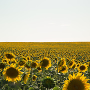 Sunflowers in Spain.<br />