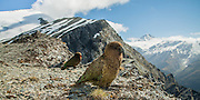 Keas up at Cascade Saddle, New Zealand