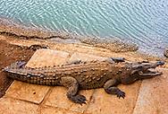 Crocodile near Moron, Ciego de Avila, Cuba.