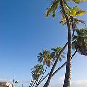 Palm Trees in Lahaina, Maui