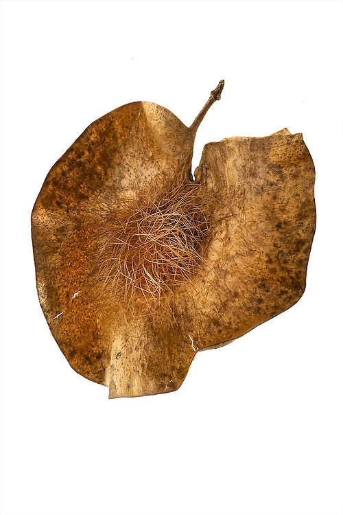 Seed from the Kew Millennium Seed Bank collection at Wakehurst, outside London in the UK.  <br /> <br /> Pterocarpus angolensis (Fabaceae) - kiaat tree; native to southern Africa<br />