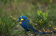 Hyacinth Macaw Feeding<br /> Anodorhynchus hyacinthinus<br /> Feeding on (Atalea funifera) Palm nuts<br /> Hyacinth Valley - Biobrazil Reserve,<br /> Cerrado Habitat<br /> Piaui State, BRAZIL. South America<br /> (100% WILD)