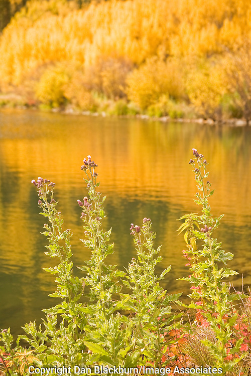 Thistle plants blooming beside Crystal Lake in the San Juan mountains of Colorado with reflections of fall colored aspens reflected in the water.