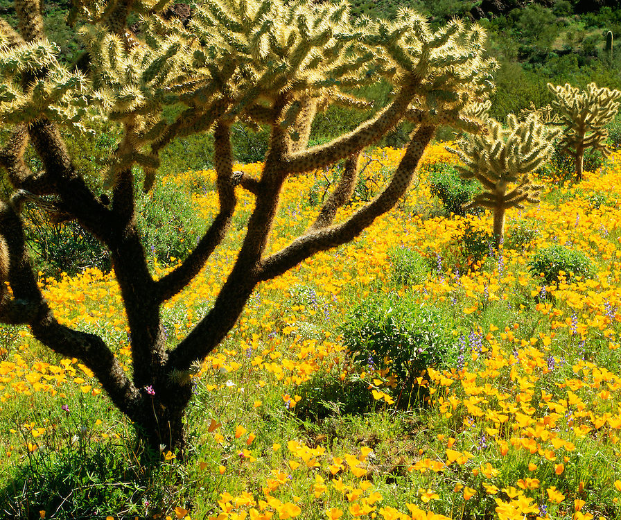 0112-1101 ~ Copyright: George H. H. Huey ~ Spring bloom with Mexican gold poppies and jumping cholla cactus. Ajo Mountains. Organ Pipe Cactus National Monument, Arizona.
