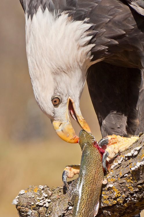 Bald Eagle, Haliaeetus leucocephalus, eating rainbow trout, Oncorhynchus mykiss, Kettle River, Sandstone, Minnesota, USA