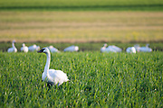Trumpeter swans and their young cygnets feeding in a Nash Farms field, Sequim.