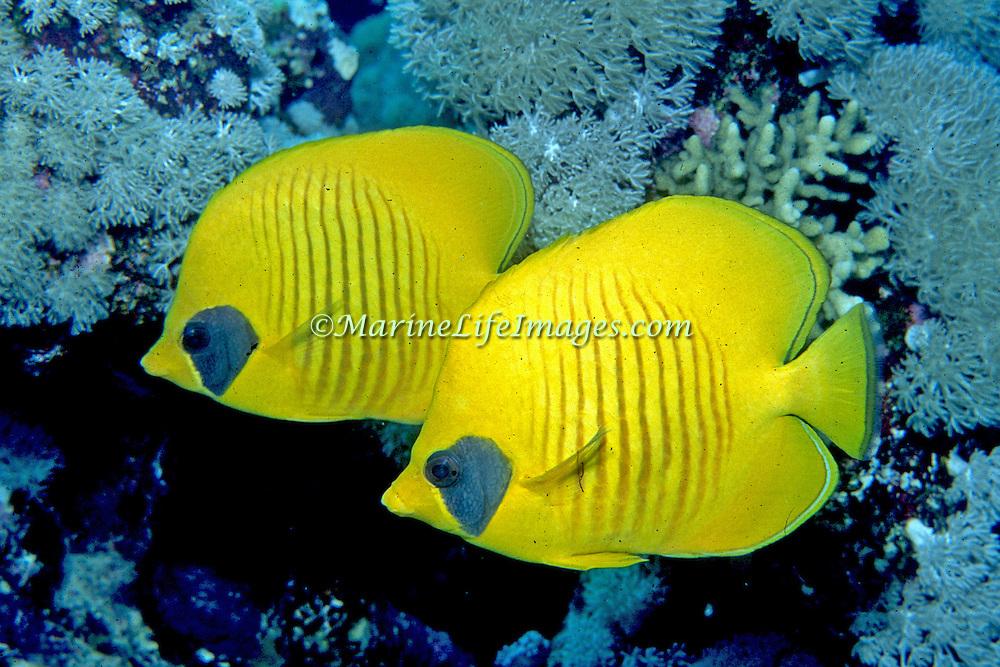 Golden Butterflyfish inhabit reefs. Range Red Sea & Gulf of Aden endemic.