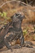 Marine iguana (Amblyrhynchus cristatus), santa Cruz Island, Galapagos Islands, UNESCO World Heritage Site, Ecuador, South America