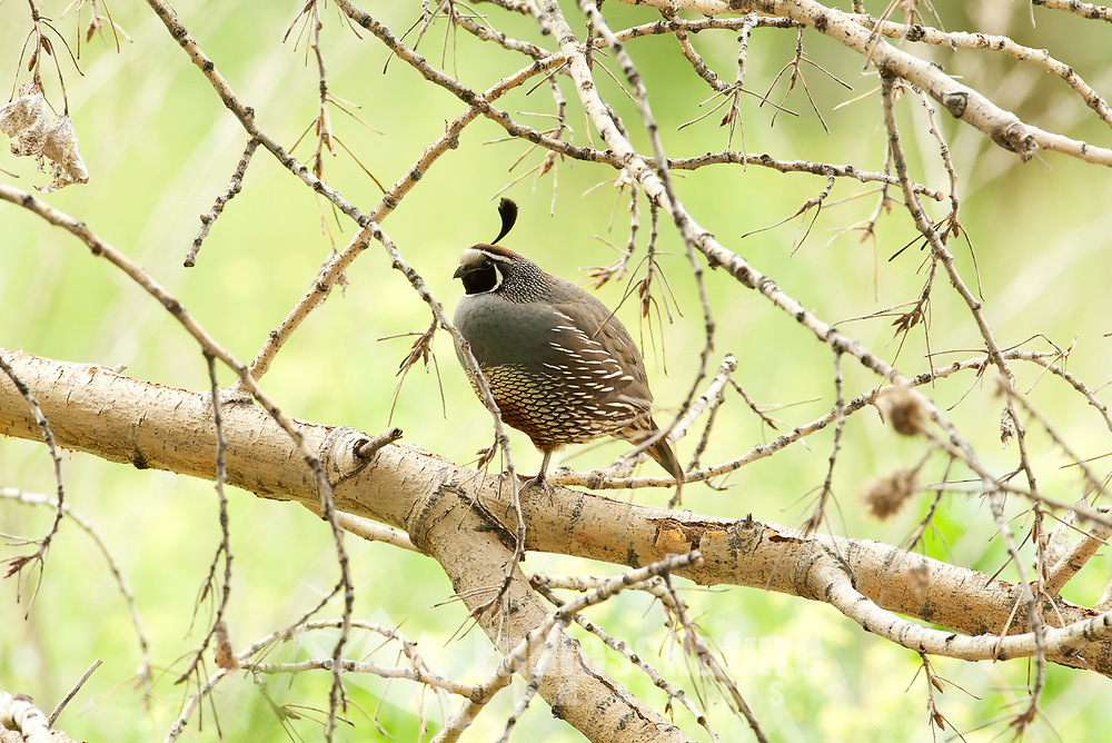 A male California Quail perches on the branches of a cottonwood tree in a northern Utah river valley.