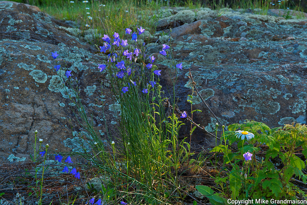 Harebells (Campanula rotundifolia) blossoms growing on Kendall Inlet Road<br />Kenora<br />Ontario<br />Canada